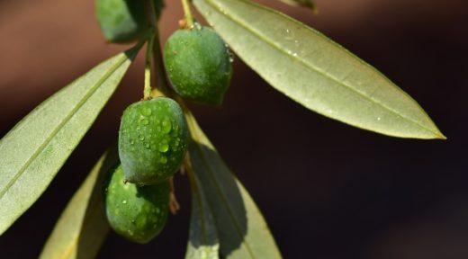 oliwny liść